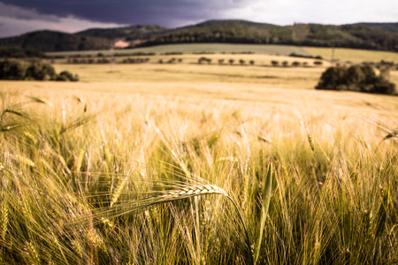 Single barley ear in the middle of the barley field just before harvest Banco de Imagens