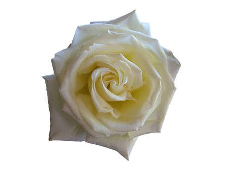 흰색 장미