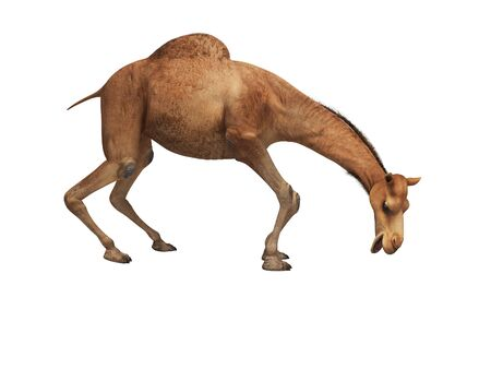 Camel wants to eat 3d rendering on white background no shadow
