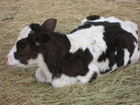 Cow 版權商用圖片