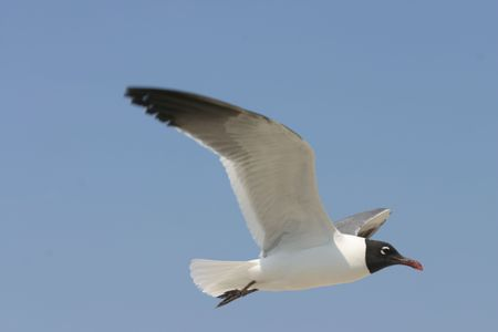 ornithology: Black and White Seagull In Flight