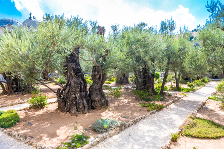 Old olive trees in the garden of Gethsemane. Famous historic place in Jerusalem, Israel.