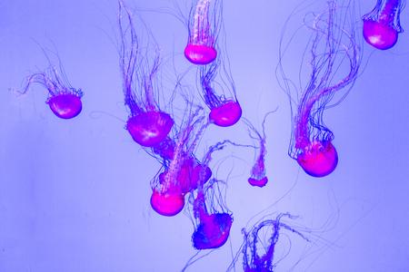 Jellyfish, Pacific sea nettle Chrysaora fuscescens.