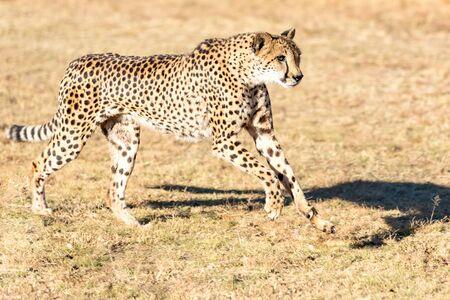 Cheetah running in South Africa, Acinonyx jubatus. Guepardo.