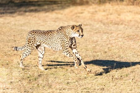 Cheetah running in South Africa, Acinonyx jubatus. Guepardo. 写真素材 - 127423048