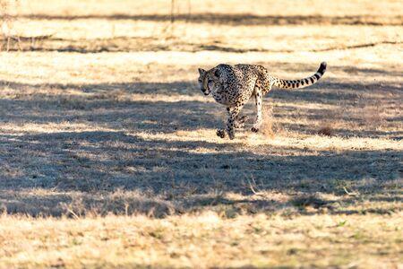 Cheetah running in South Africa, Acinonyx jubatus. Guepardo. 写真素材 - 127423055