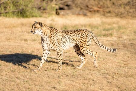 Cheetah running in South Africa, Acinonyx jubatus. Guepardo. 写真素材 - 127423131