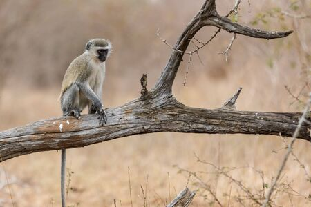 Vervet monkey (Cercopithecus aethiops) sitting in a tree, South Africa. Africa. Kruger Park.