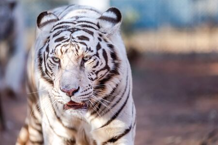 White Bengal Tiger in a close up view portrait looking into the camera Imagens