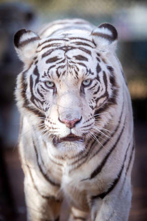 White Bengal Tiger in a close up view portrait looking into the camera Stockfoto