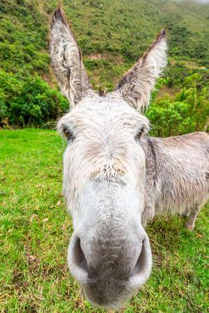 Donkey during Salkantay Trekking in Peru, South America.