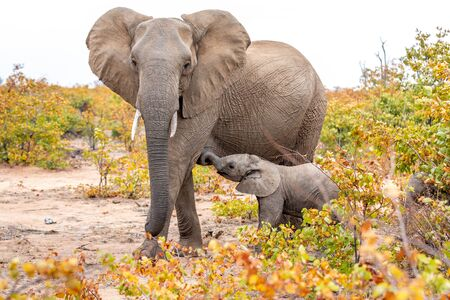 Elephant mother and baby on a nature in South Africa. Africa. Standard-Bild