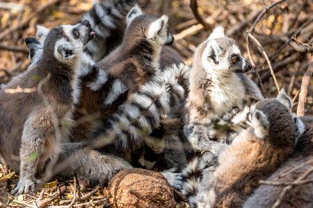 The ring-tailed lemur (Lemur catta), Madagascar.