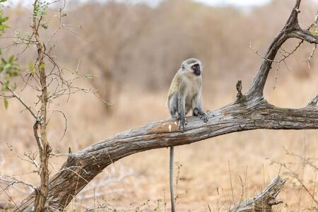 Vervet monkey (Cercopithecus aethiops) sitting in a tree, South Africa. Africa.