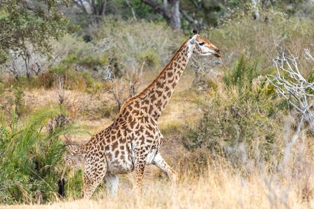 Wild giraffe in savana grasss, South Africa. Africa. Stock fotó