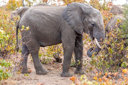 African Elephant Bull alone, Savannah in Africa. South Africa. Stock fotó