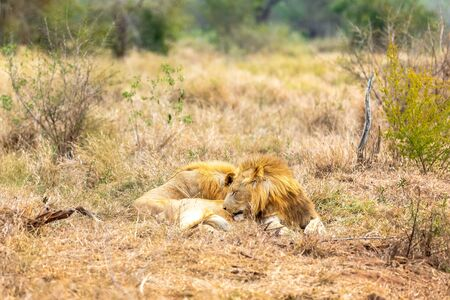 Lion and panthera leo. Love is in the air. Africa. Stock fotó