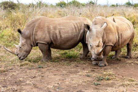 White rhinoceros or square-lipped rhinoceros is the largest extant species of rhinoceros. South Africa and Swaziland