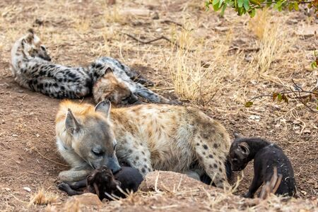 Hyena family in South Africa. Mother and Babys hyenas.