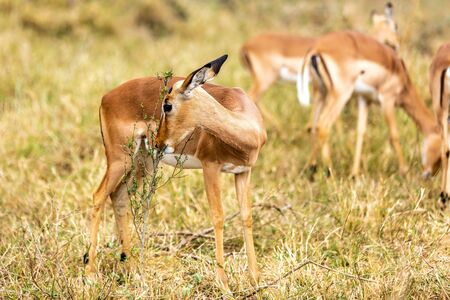 impalas standing in an open field in the South African, Africa.