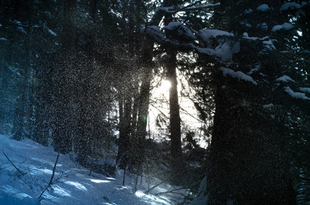 snow falls: Snow falls in the dark winter forest. Sun light is visible through the trees. Stock Photo