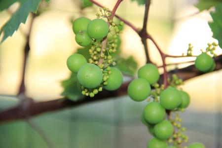 arbre: grapes Stock Photo