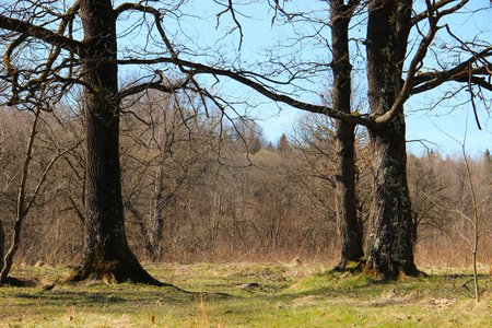 arbre: oak in the forest