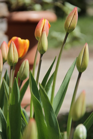 valentina: Beautiful tulips grow in a garden