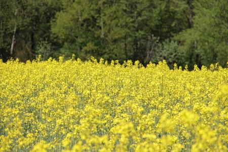 yellow field Stok Fotoğraf - 40057654