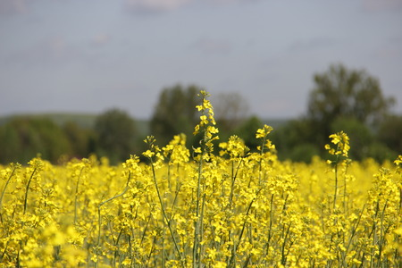 yellow field Stok Fotoğraf - 40057659