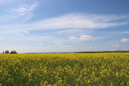 yellow field Stok Fotoğraf - 40057661