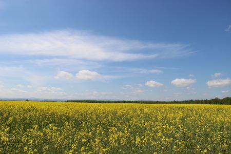 yellow field Stok Fotoğraf - 40057662