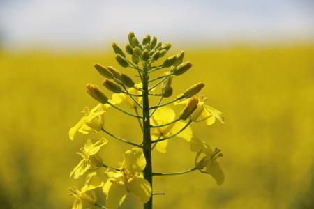 yellow field Stok Fotoğraf - 40057269