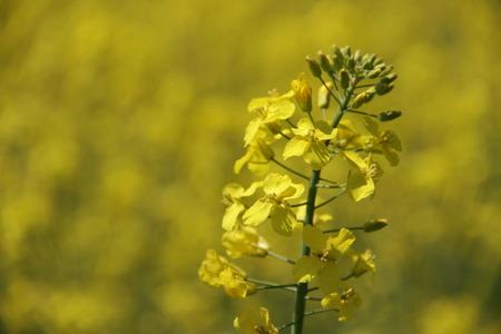 yellow field Stok Fotoğraf - 40057277