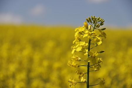 yellow field Stok Fotoğraf - 40057278