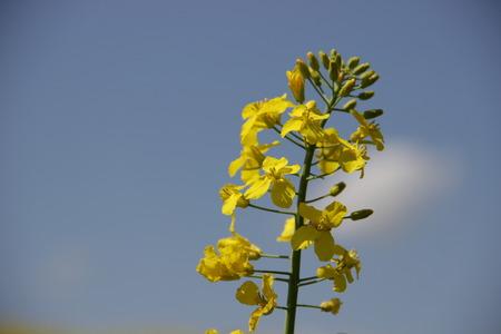 yellow field Stok Fotoğraf