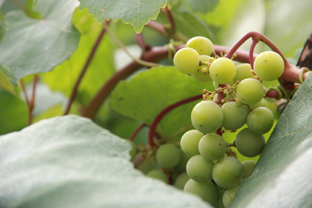 riesling: grapes Stock Photo