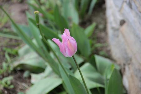fragility: tulipn