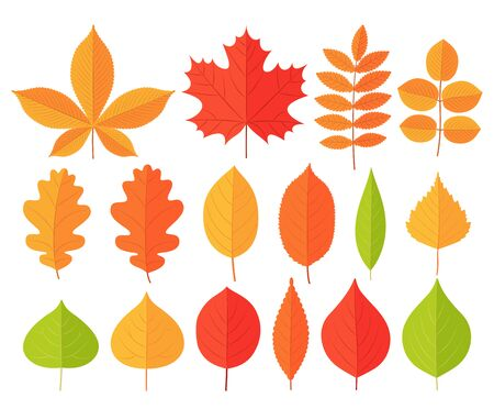 Autumn leaf leaves. Vector. Fall leaves maple, chestnut, oak. Set leaves from different kind of trees isolated on white background. Natural colorful cartoon illustration. Flat design.    Ilustração