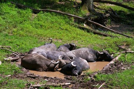 indian buffalo: INDIAN WATER BUFFALO