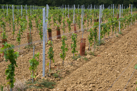 ROWS OF YOUNG VINES