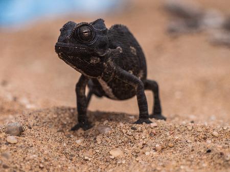 Chameleon near Swakopmund, Namibia