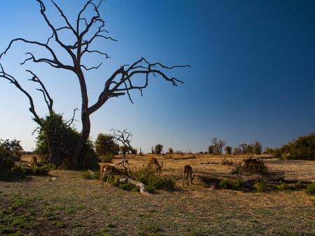 Antelope in Chobe National Park in Botswana, Africa