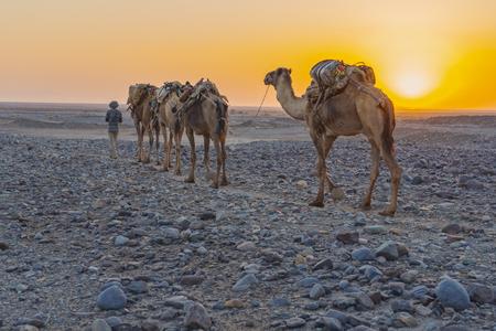A caravan of dromedaries transporting salt guided by an Afar man in the Danakil Depression in Ethiopia Stok Fotoğraf