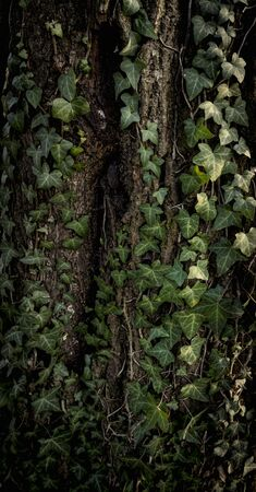 Green leaves of ivy on a wood trunk. Reklamní fotografie - 135465048