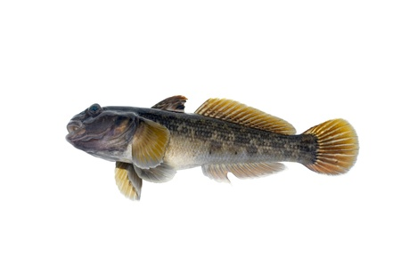 Little fish, perch on a white Stock Photo - 10807267