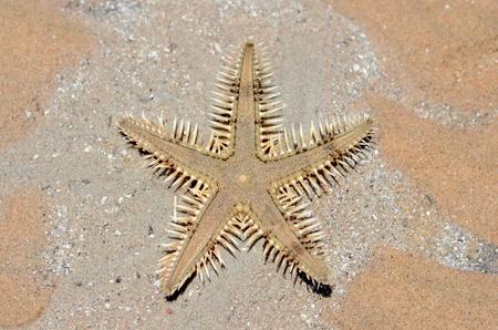 Brown sea star on a beach sand near a sea Stock Photo - 10807272