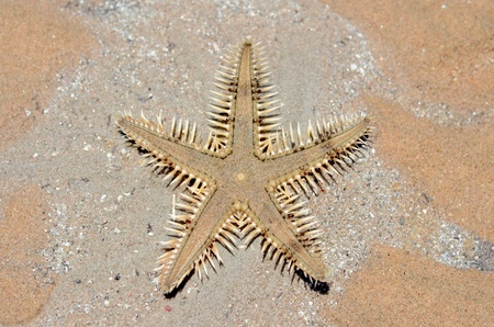 Brown sea star on a beach sand near a sea