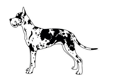 great dane: Dog