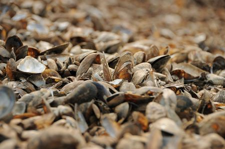 at the seaside, the mussels, cockleshells photo